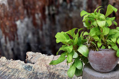 Pothos. Pot plant With a background as a flap brown wood Stock Photo