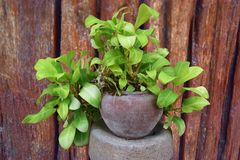 Pothos Royalty Free Stock Photography