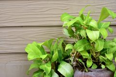 Pothos. Pot plant With a background as a flap gray wood Stock Photography