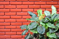 Pothos. Pot plant with a background as red brick wall Royalty Free Stock Photography