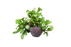 Pothos. Pot plant With a background Isolated in white with path Stock Image