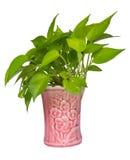 Pothos,Pothos in pots pink Royalty Free Stock Photos