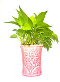 Pothos,Pothos in pots pink. On white background Stock Image