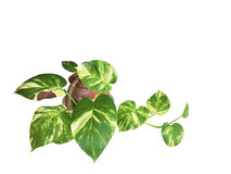 The pothos in pots. Stock Image