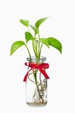 Pothos with red ribbon in transparent bottle Royalty Free Stock Image