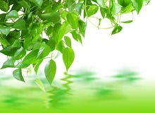 Pothos Reflection Stock Photos