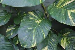 Pothos roślina lub diabła ` s bluszcz Obrazy Stock