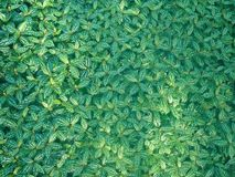 Pothos texture Royalty Free Stock Photos