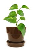 Pothos tree. A pothos tree clay isolated white Royalty Free Stock Photos