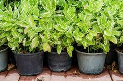 Pothos trees in pot Stock Photo