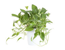 Pothos. In a white plastic vase Royalty Free Stock Image