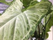 Pothosbladgräsplan gör randig nätt arkivbild