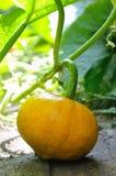 Potimarron in vegetable garden Stock Images