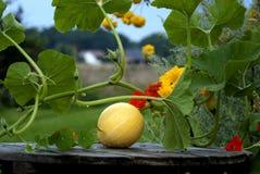 Potiron après pluie dans le jardin Photo libre de droits