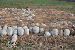 potiron blanc dans la ferme photos libres de droits