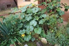 Potiron dans mon jardin organique images stock