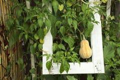 Potiron de Butternut ou usine de courge de Butternut dans le jardin Photographie stock