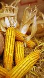 Potiron de vacances d'automne et maïs, donner merci Image libre de droits
