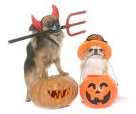 Potiron et chiwawas de Halloween Photos libres de droits