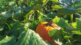 Potiron orange dans le domaine ensoleillé Photo libre de droits