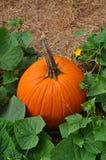 Potiron orange simple dans des feuilles vertes photos libres de droits
