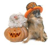 Potiron, poulet et chiwawa de Halloween Photos libres de droits
