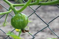 Potiron vert sur le buisson Photo libre de droits