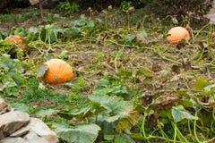 Potirons dans un terrain en automne Les Asturies, Espagne photos stock