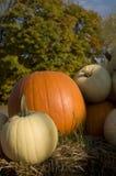 Potirons de thanksgiving Photos libres de droits