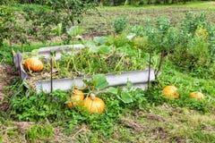 Potirons oranges avec le grand élevage vert de feuilles Images stock