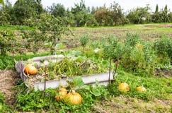 Potirons oranges avec le grand élevage vert de feuilles Images libres de droits