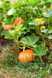 Potirons oranges avec le grand élevage vert de feuilles Image libre de droits