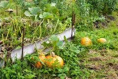 Potirons oranges avec le grand élevage vert de feuilles Photos stock