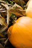 Potirons sur des tiges de maïs Photo stock