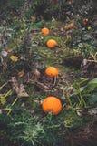 Potirons sur une rangée dans un jardin Photo stock