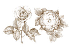 Potloodtekening van rozen Stock Foto's