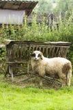 Poto of a lamb Stock Photos