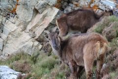 Free Potography Of Young Female Siberian Ibex In Himalayas Stock Images - 164754304
