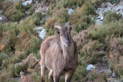 Free Potography Of Young Female Siberian Ibex In Himalayas Stock Photo - 164754320