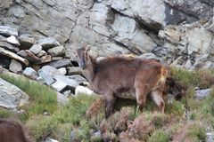 Free Potography Of Young Female Siberian Ibex In Himalayas Stock Photos - 164754323