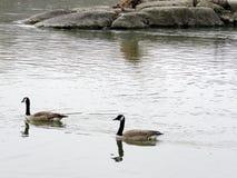 Potomac los pares de la primavera canadiense 2017 de los gansos Fotografía de archivo libre de regalías