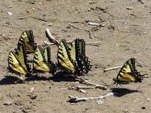 Potomac seis Tiger Swallowtail oriental 2016 Imagem de Stock Royalty Free