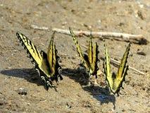 Potomac trzy Swallowtail Wschodni Tygrysi motyle 2016 Obraz Royalty Free