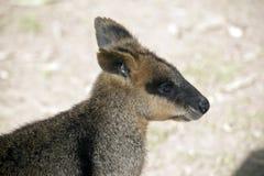 Potomstwa bagna wallaby zdjęcia royalty free