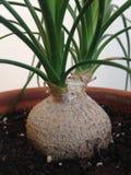 Potomstwa Beaucarnea Recurvata roślina w garnku Zdjęcia Stock