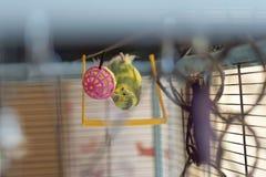 Potomstwa Budgeigar papuga chodzi do góry nogami na inside dach sztuki z jaskrawą piłką zabawka i klatka obraz stock