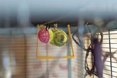 Potomstwa Budgeigar papuga chodzi do góry nogami na inside dach sztuki z jaskrawą piłką zabawka i klatka fotografia stock