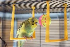 Potomstwa Budgeigar papuga siedzi na papuziej ` s huśtawce i bawić się z zabawkarską piłką zawieszającą obraz royalty free
