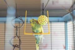 Potomstwa Budgeigar papuga siedzi na papuziej ` s huśtawce i bawić się z zabawkarską piłką zawieszającą zdjęcie stock