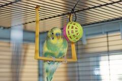 Potomstwa Budgeigar papuga siedzi na papuziej ` s huśtawce i bawić się z zabawkarską piłką zawieszającą zdjęcie royalty free